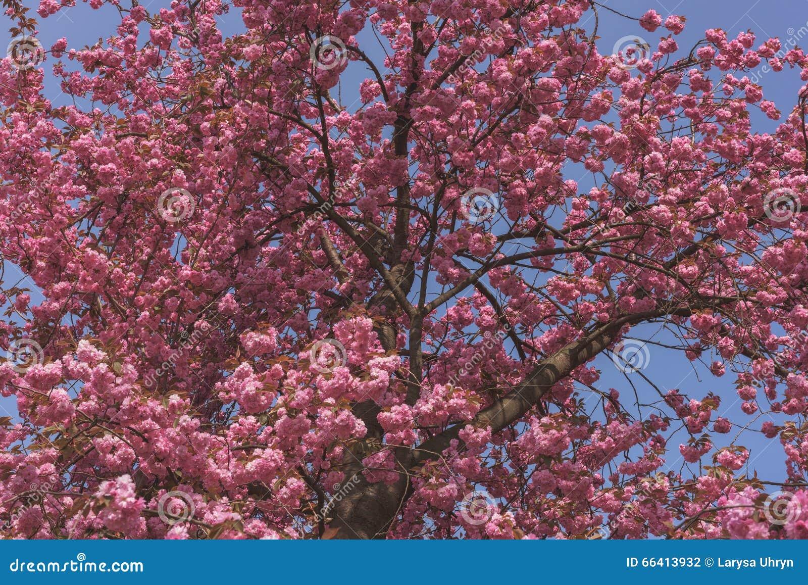 Pink Blooming Sakura Tree With Blue Sky Stock Photo Image Of