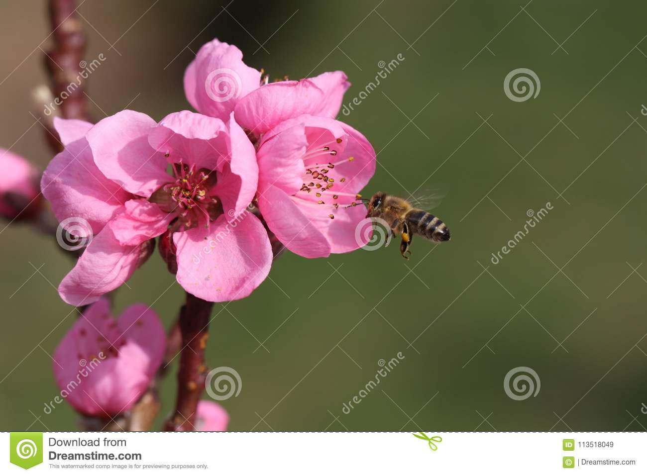 Pink blossom from a fruit tree with flying bee