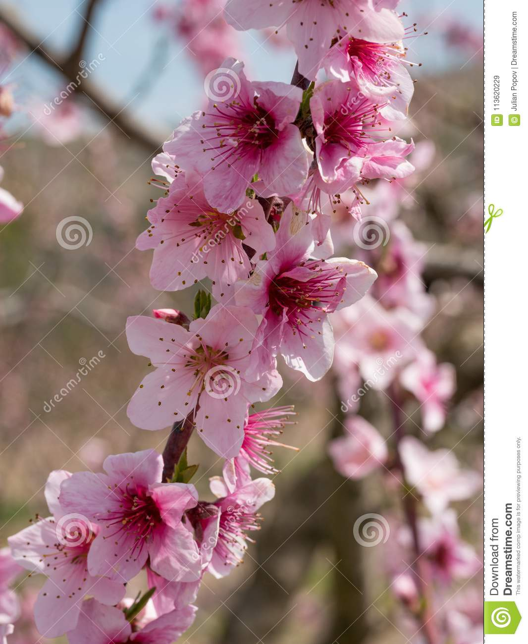 Pink Blossom Of Pear Pear Tree In Blossom Flowers Of Pear Tree