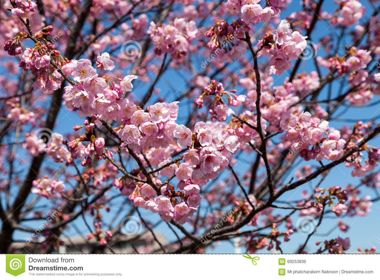 Pink Blossom Sukura Flowers On A Spring Day In Japan Stock Photo