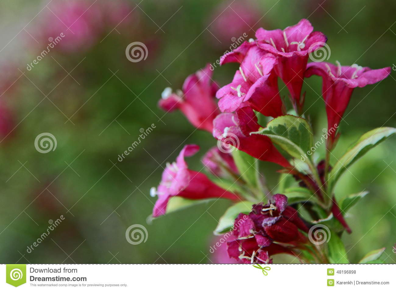 Pink blossoms of a cardinal shrub stock photo image of cluster download comp mightylinksfo