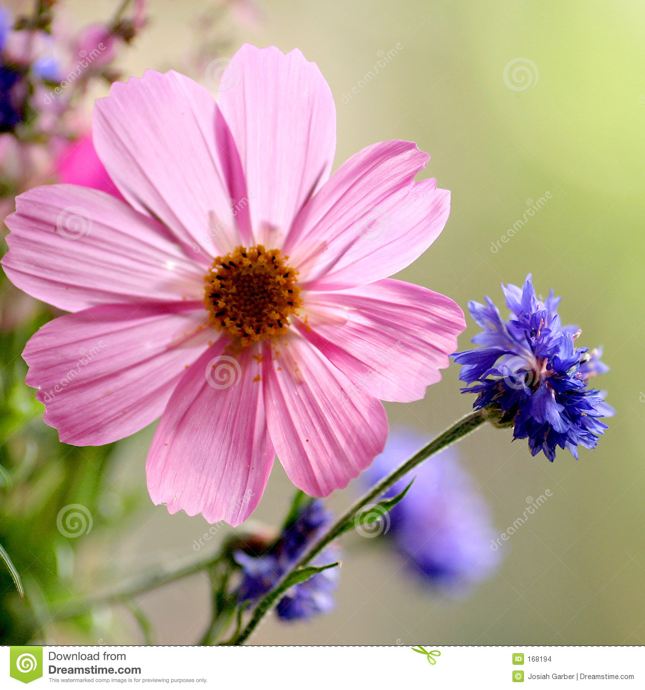 Pink And Blue Flower Stock Photo Image Of Flower Blue 168194
