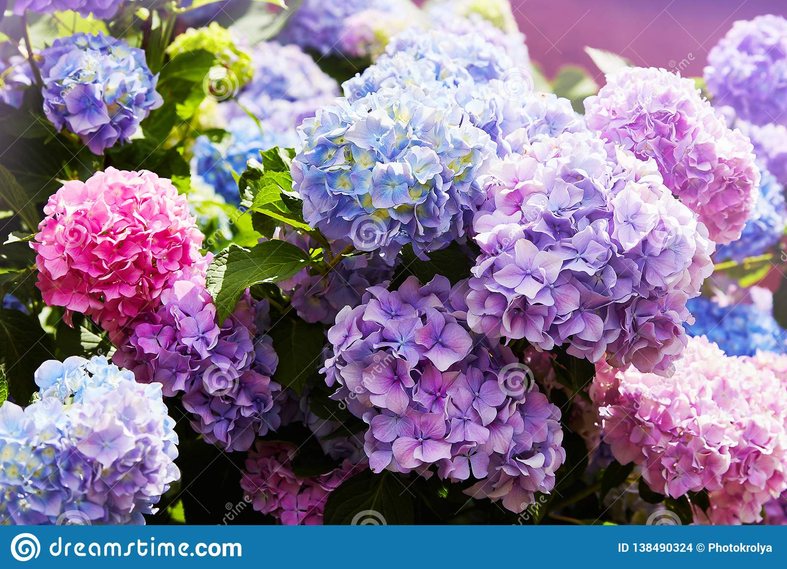 Purple Hydrangea Flower Hydrangea Macrophylla Blooming In Spring And