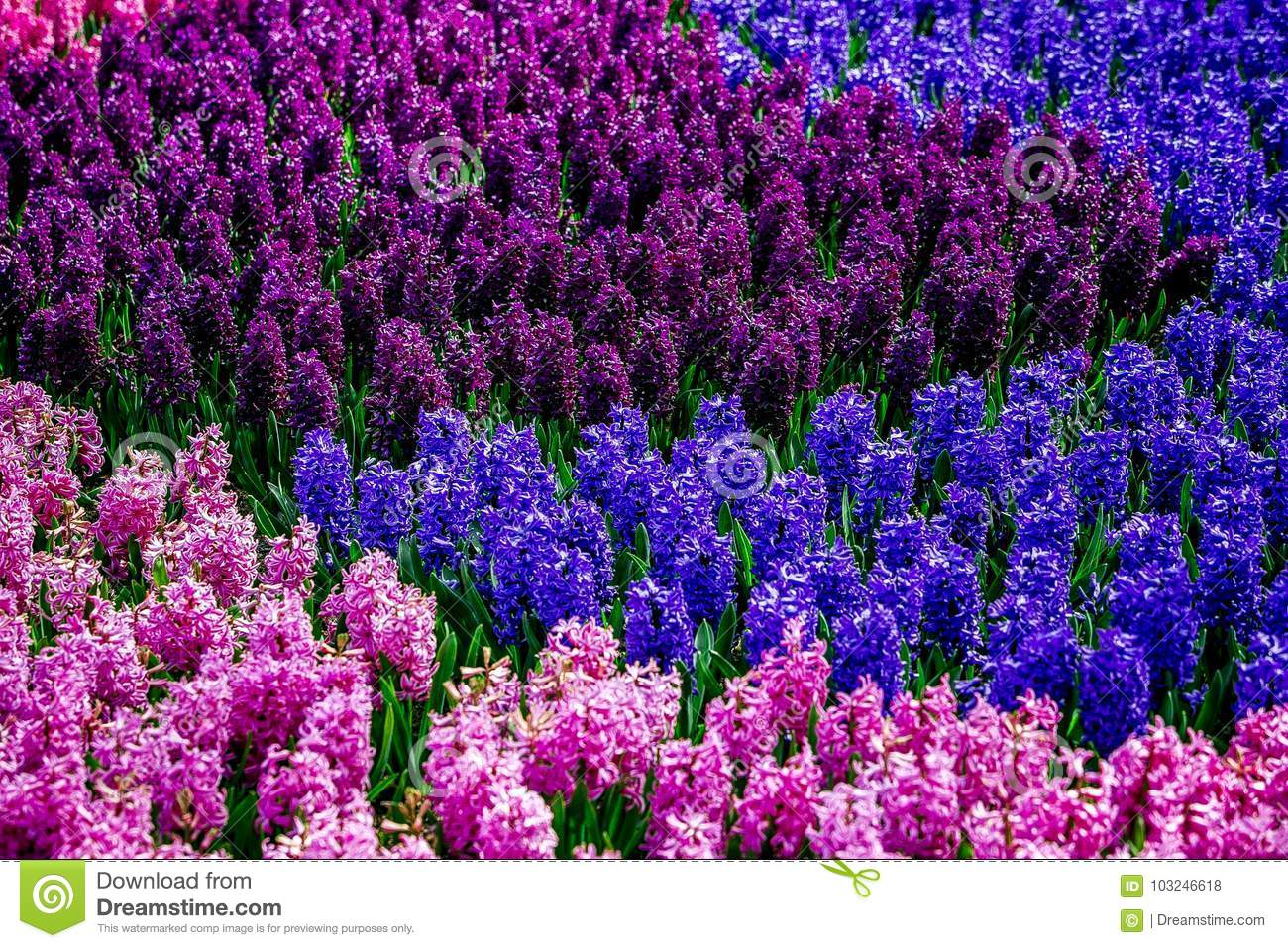 Pink blue and purple flowers in a garden from holland stock photo download pink blue and purple flowers in a garden from holland stock photo image izmirmasajfo