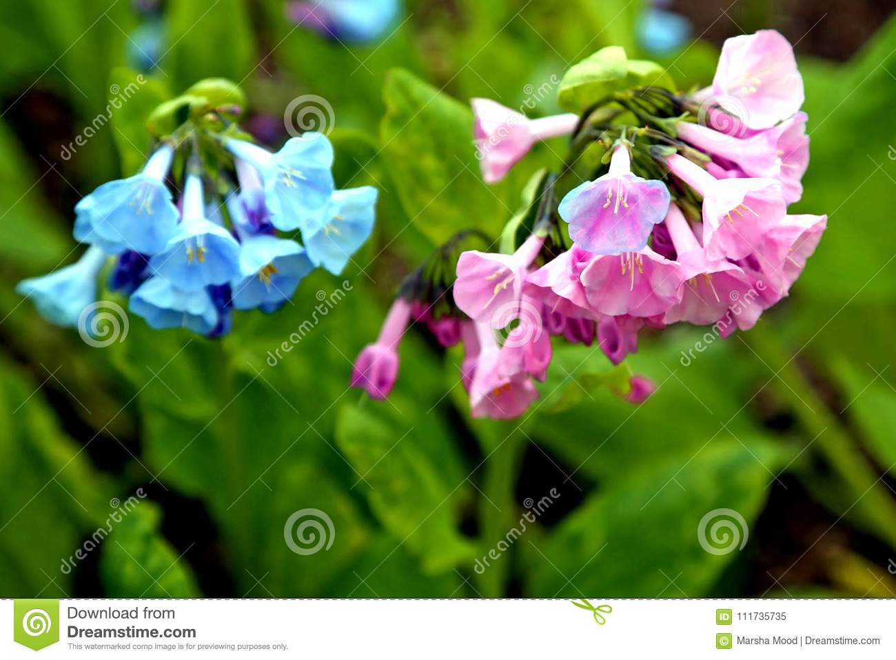 Lovely pink and blue Virginia bluebells blooming in the springtime sun.