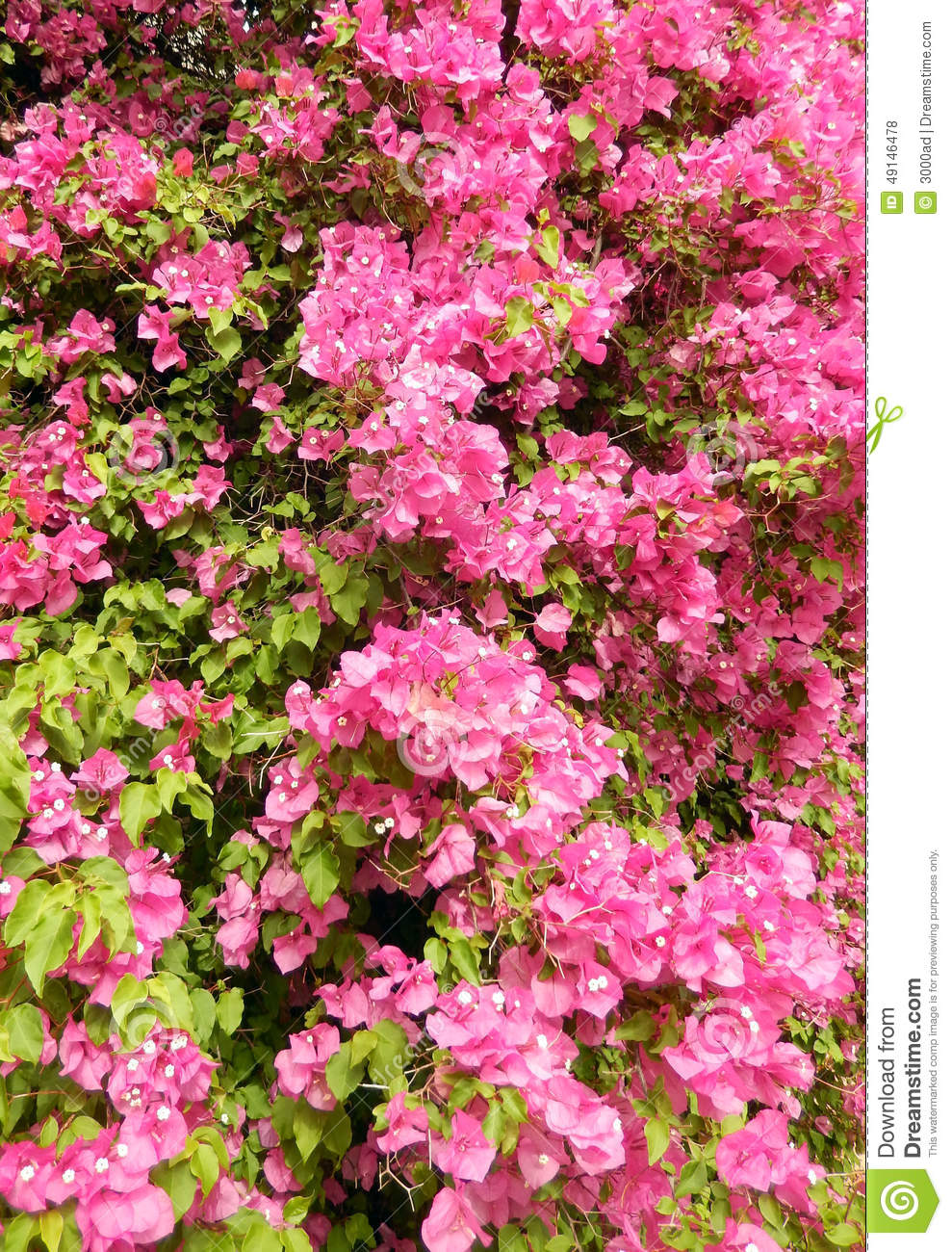 Pink Bougainvillea Bush Stock Photo Image Of Rhododendron 49146478