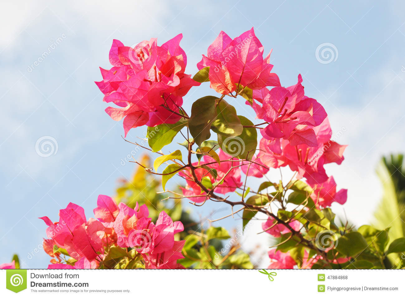 Pink Bougainvillea Flower Stock Photo - Image: 47884868