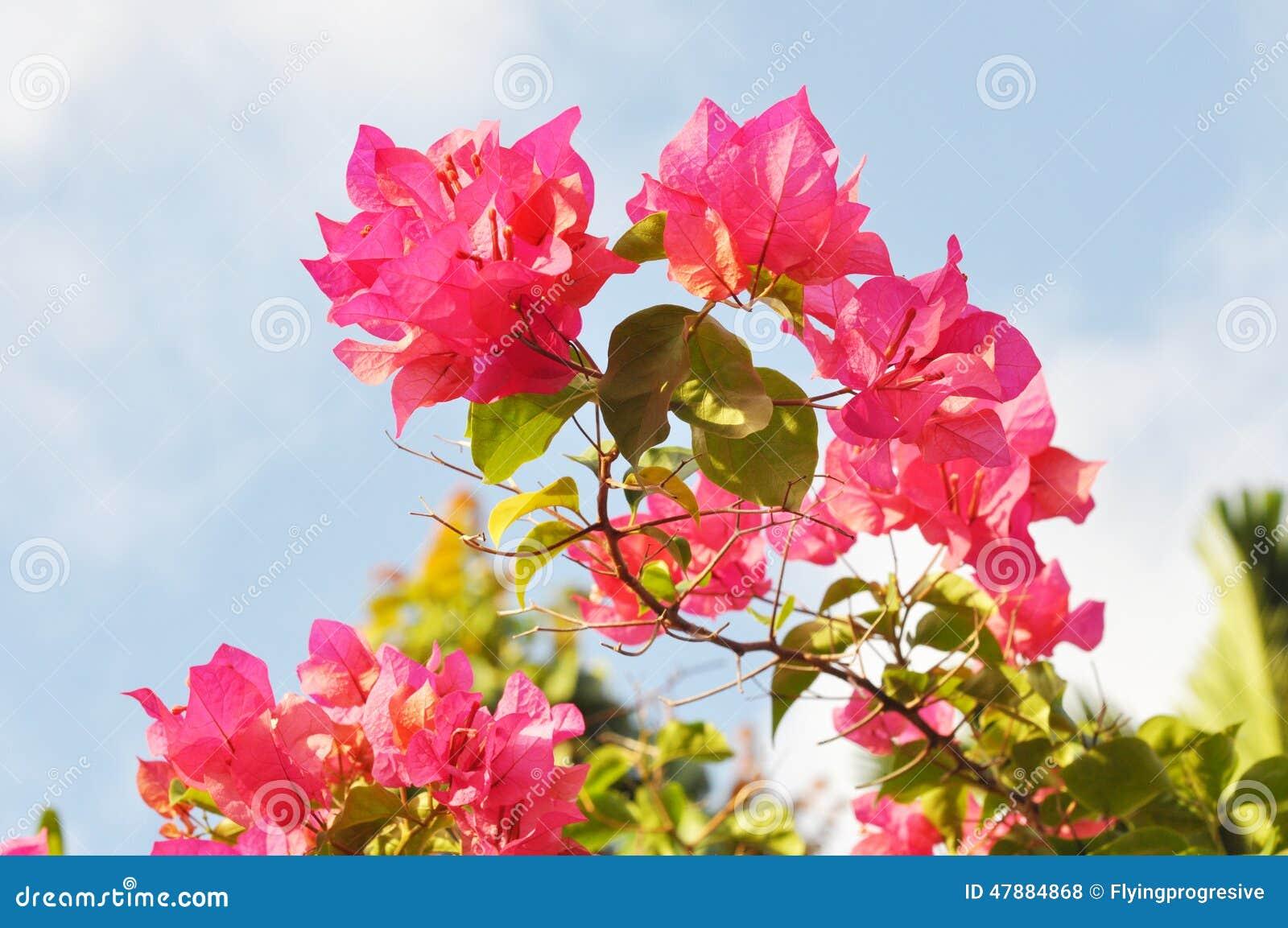 Pink Bougainvillea Flower Stock Photo - Image: 47884868