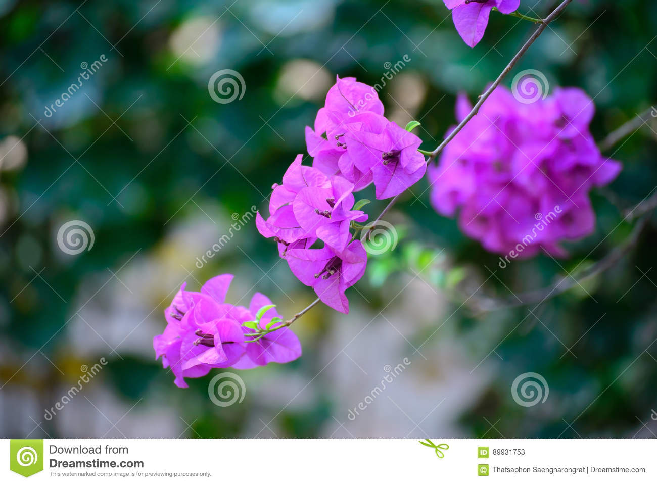 Pink Bougainvillea Flower Or Paper Flower With Leaves In The Gar