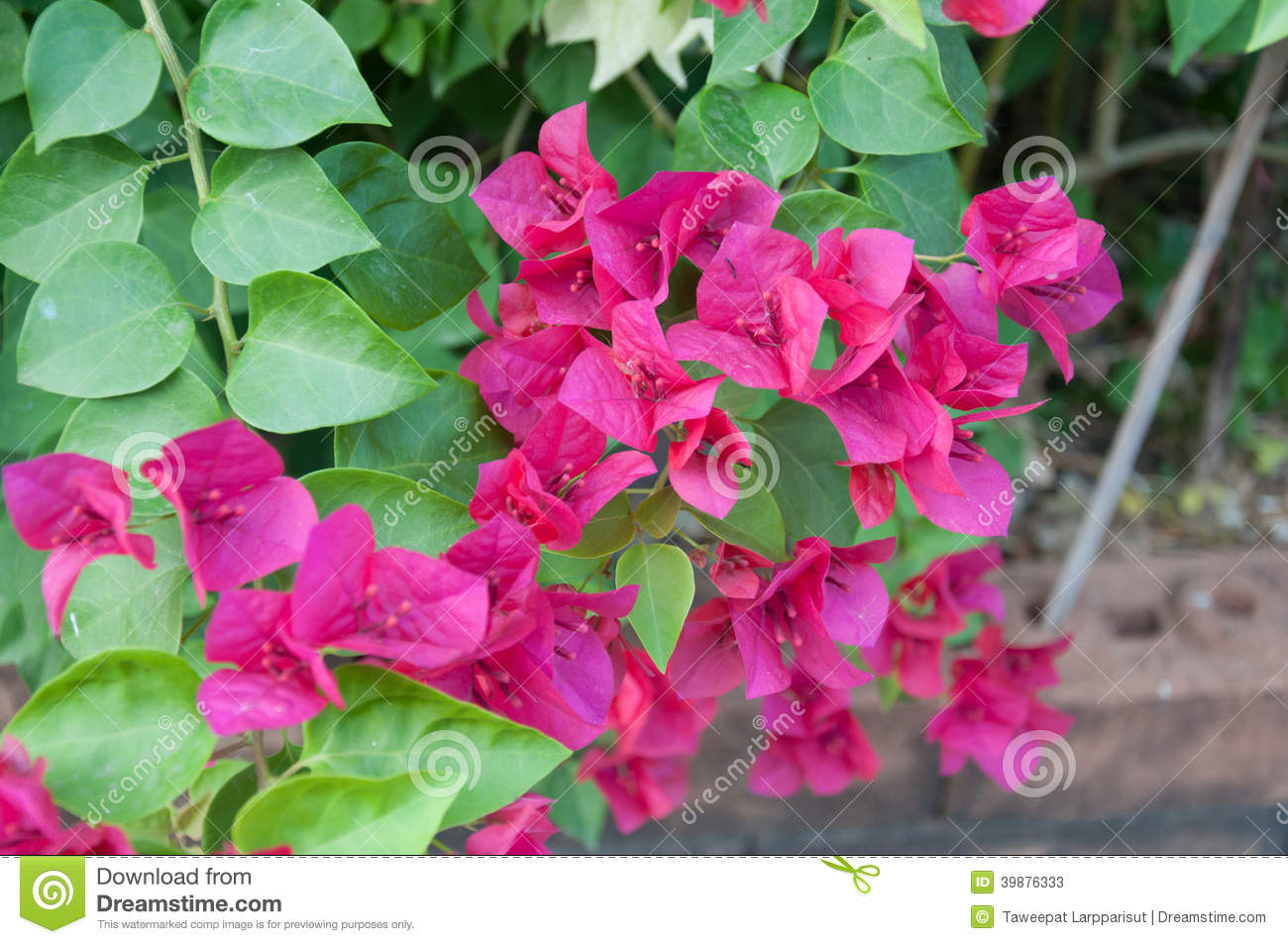 Pink bougainvillea stock image image of pink bougainvilleas 39876333 download pink bougainvillea stock image image of pink bougainvilleas 39876333 mightylinksfo