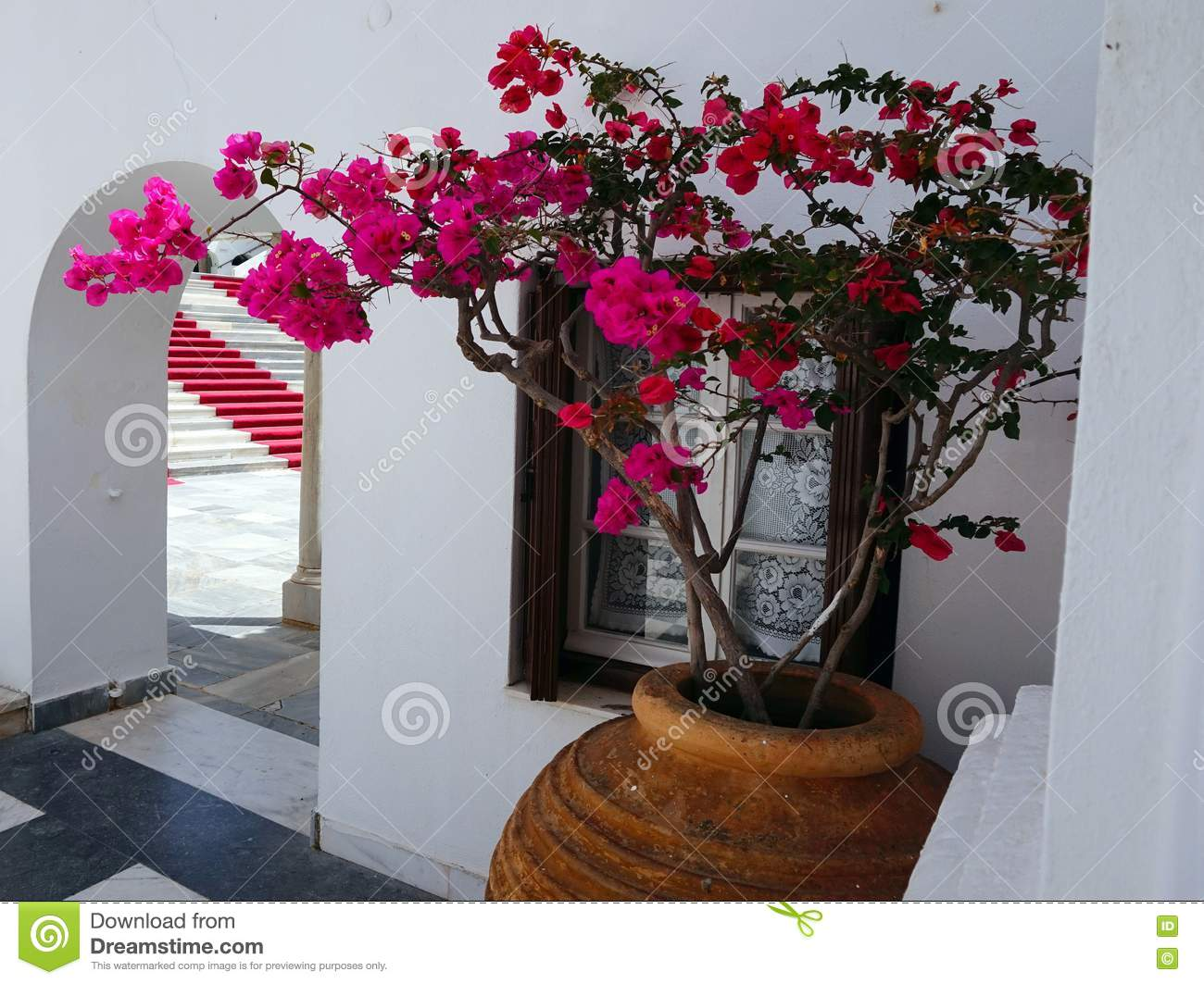 Pink bougainvillea in large urn stock photo image of plant download comp mightylinksfo
