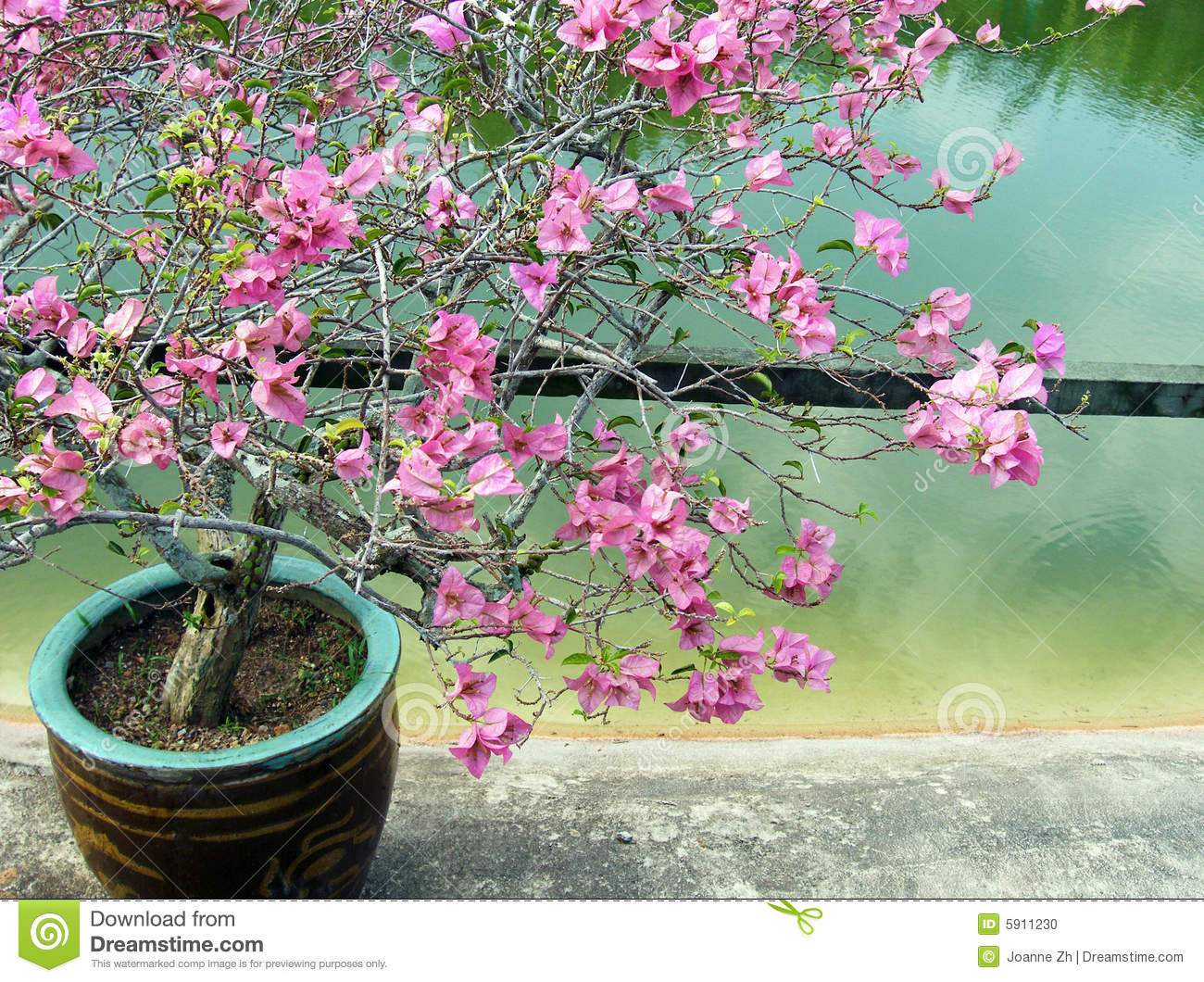Bougainvillea Stock Images - Download 12,369 Photos