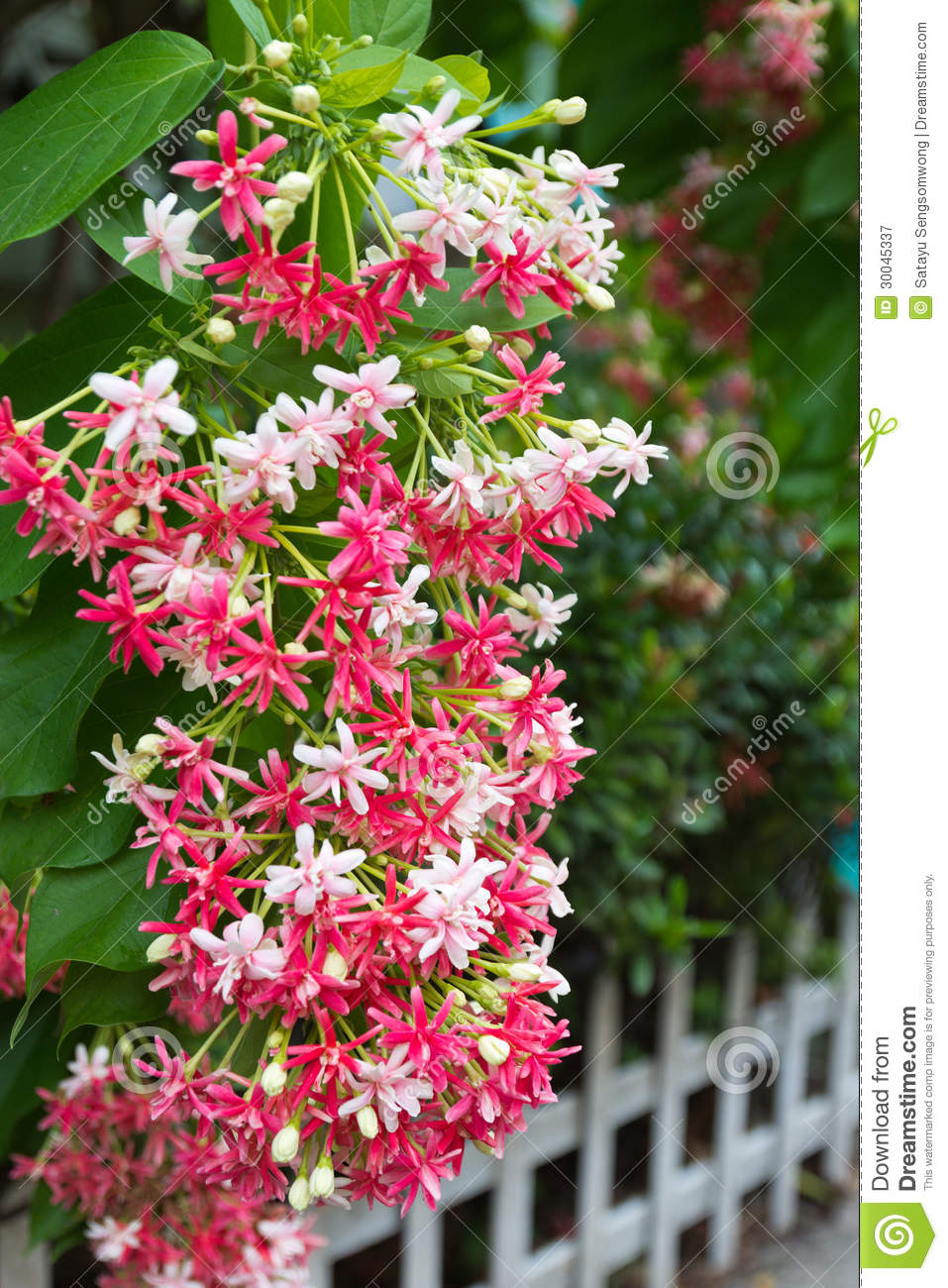 pink bouquet of quisqualis indica flower royalty free small vector network analyzer smallvector github