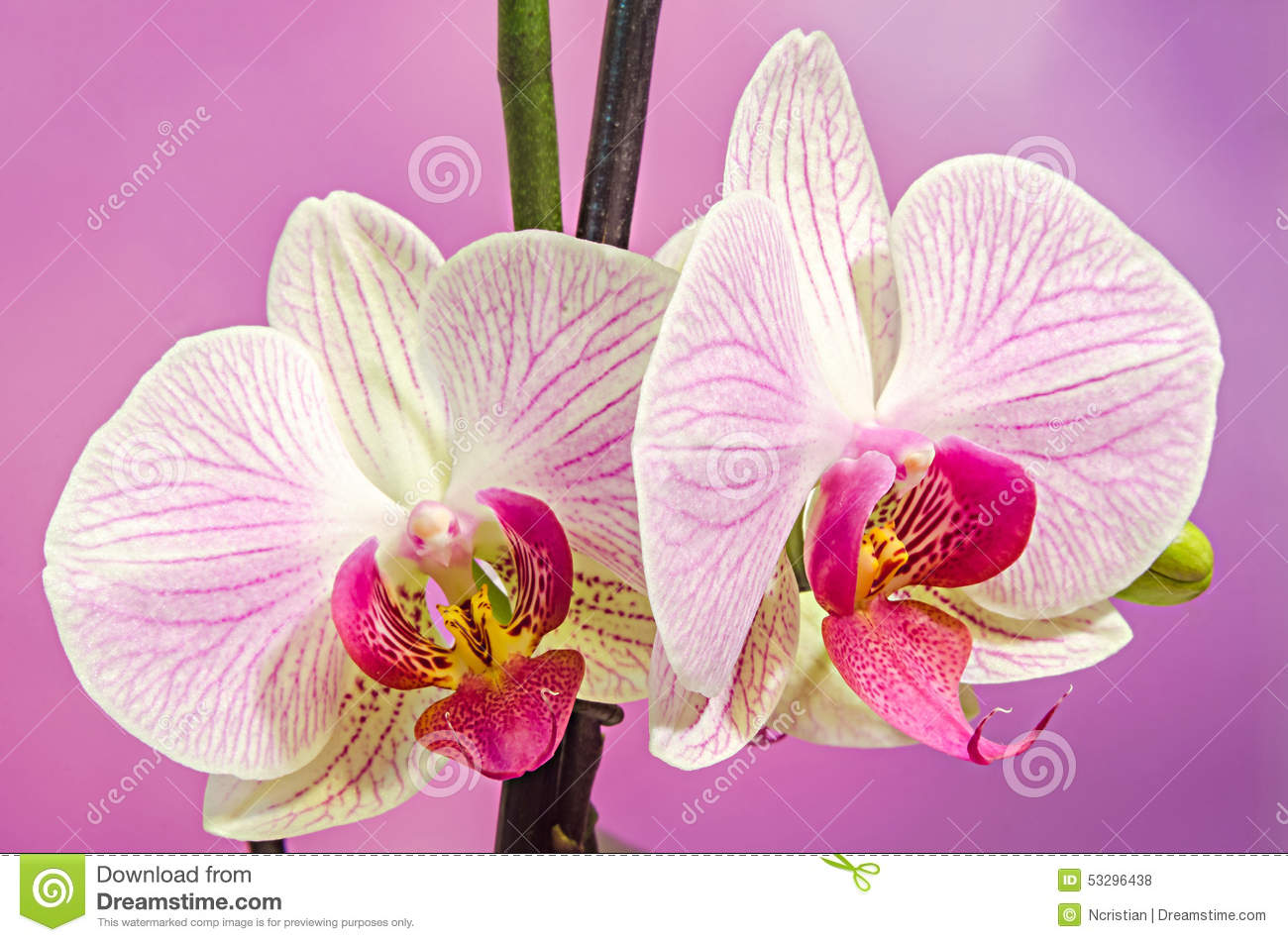Pink branch orchid flowers with green leaves orchidaceae for Les noms de fleurs