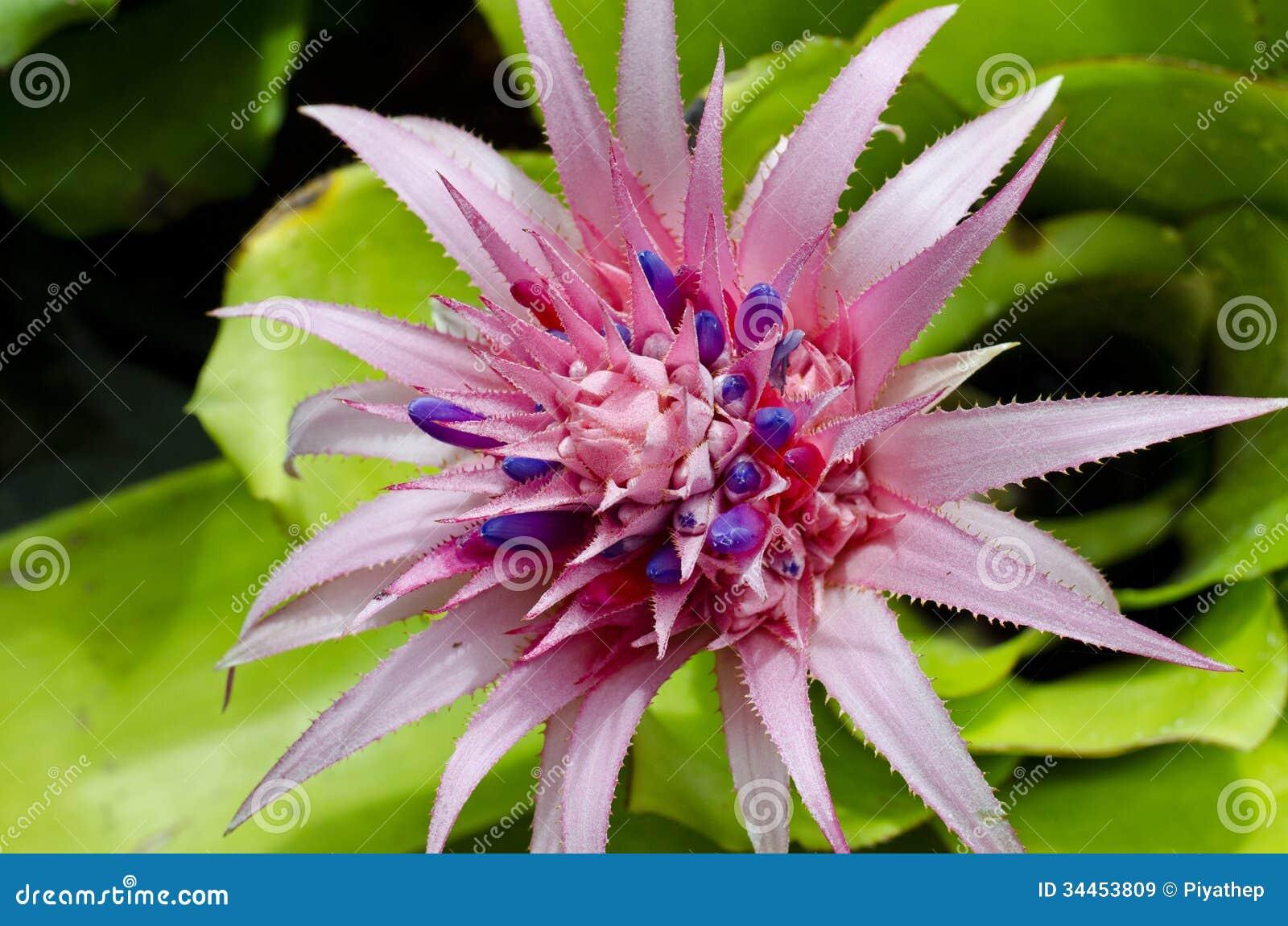 Pink Bromeliad Stock Image Image Of Blue Flora Primera 34453809