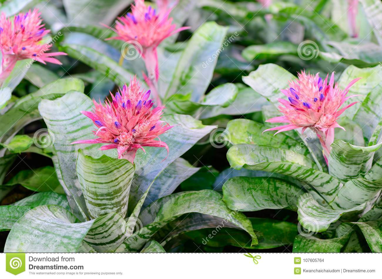 Pink Bromeliad Flower Or Aechmea Fasciata Stock Photo Image Of