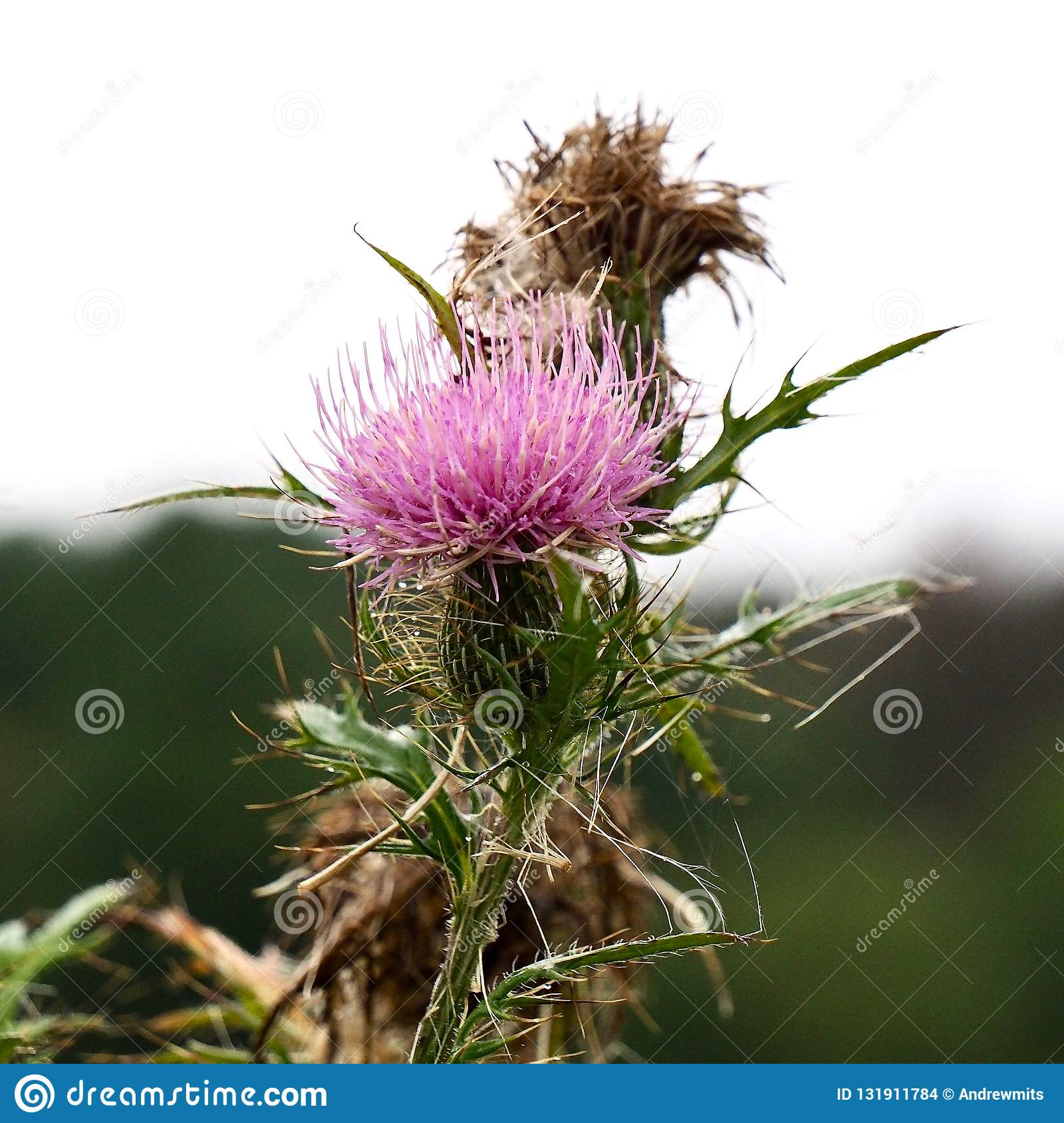 Pink And Brown Bull Thistle Flowers Stock Photo Image Of Contrast