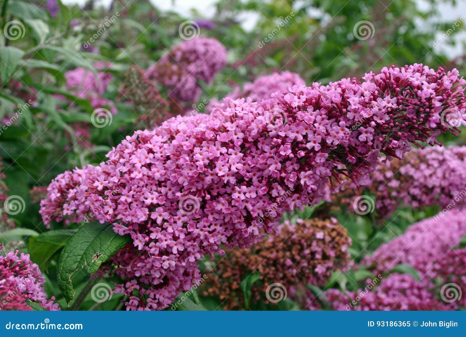 Pink Buddleia Flower Stock Image Image Of Pink Spike 93186365
