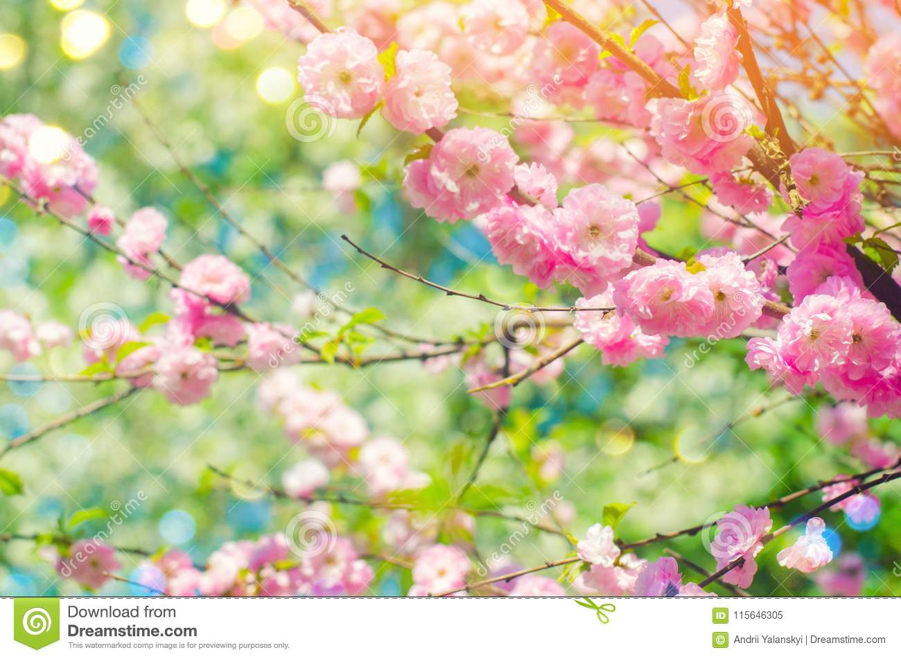 Pink bush blossoms in spring with pink flowers. natural wallpaper. concept of spring. background for design
