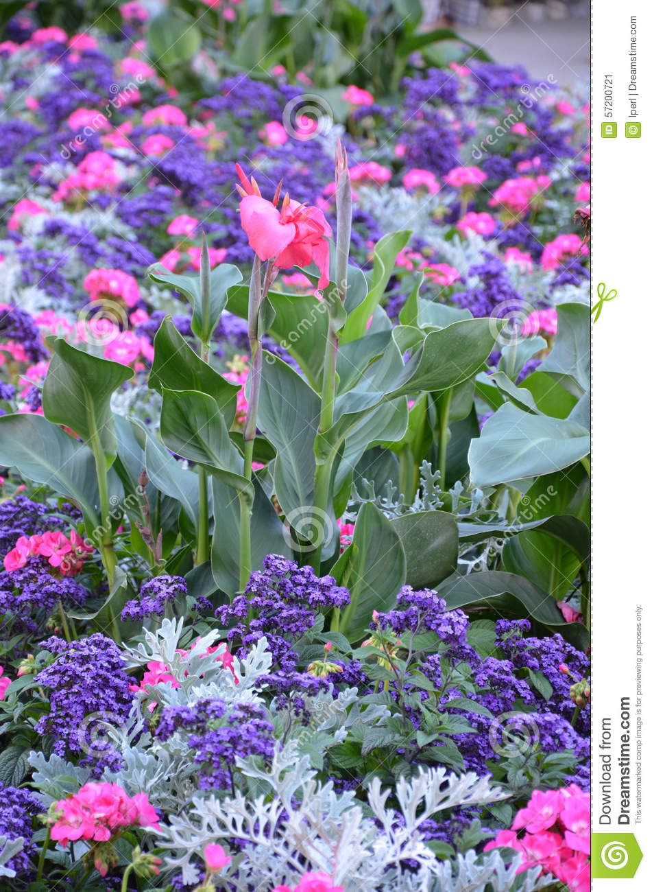 Pink Calla Lily Flower Garden Stock Image Image Of Blooms