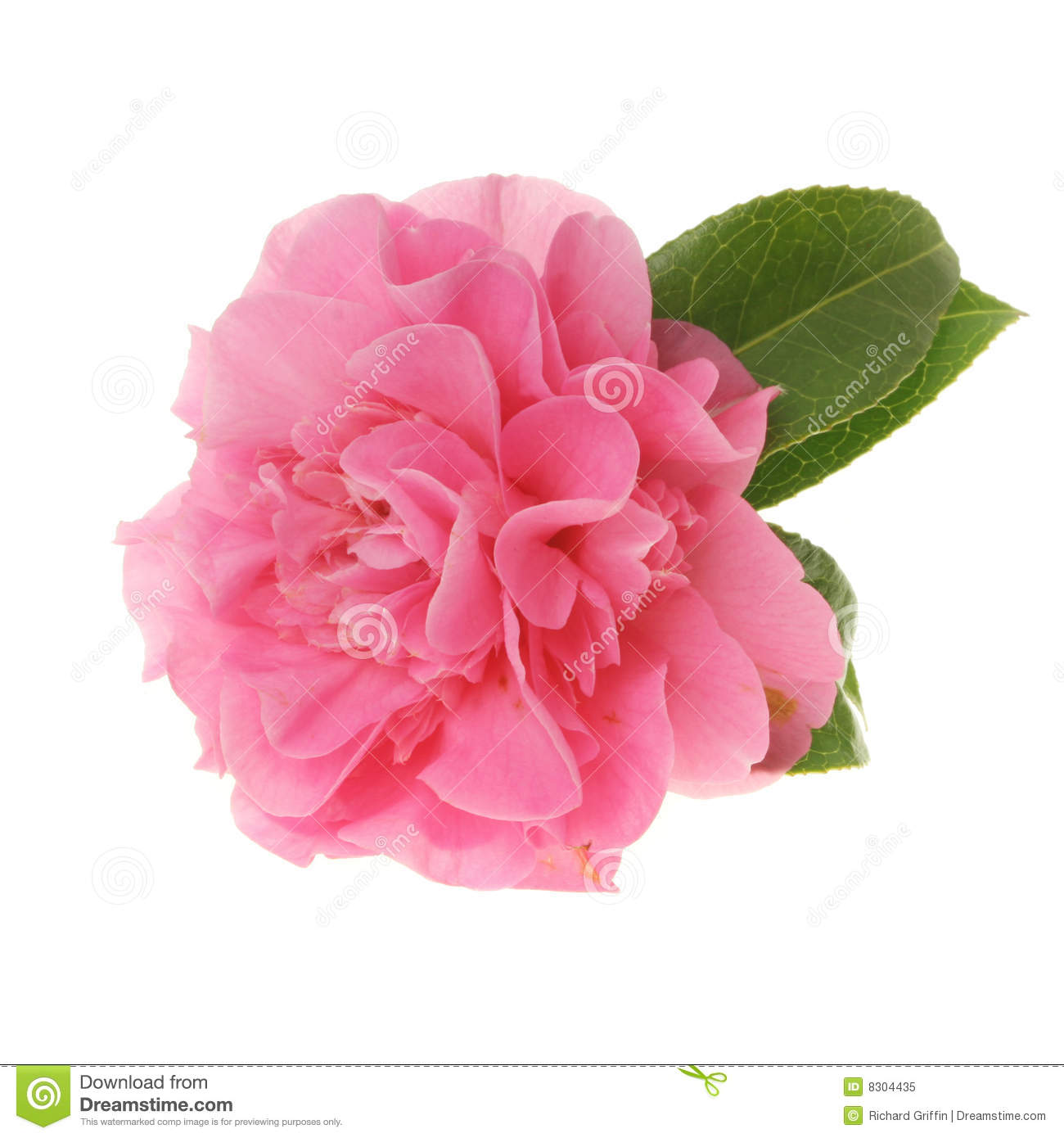Pink camellia stock image image of pink isolated - Camelia fotos ...