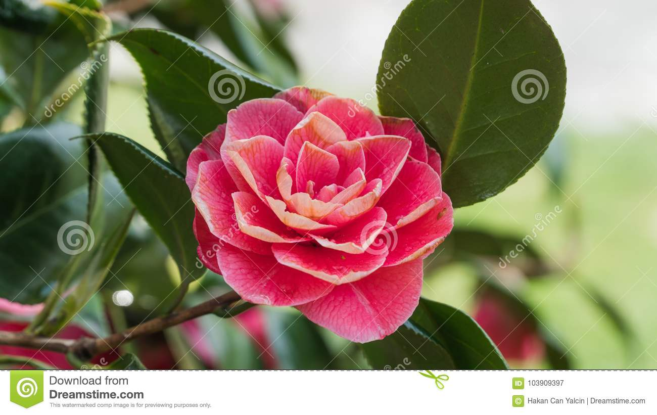Pink Camellia Flower Blooming In The Morning Sunlight Stock Image