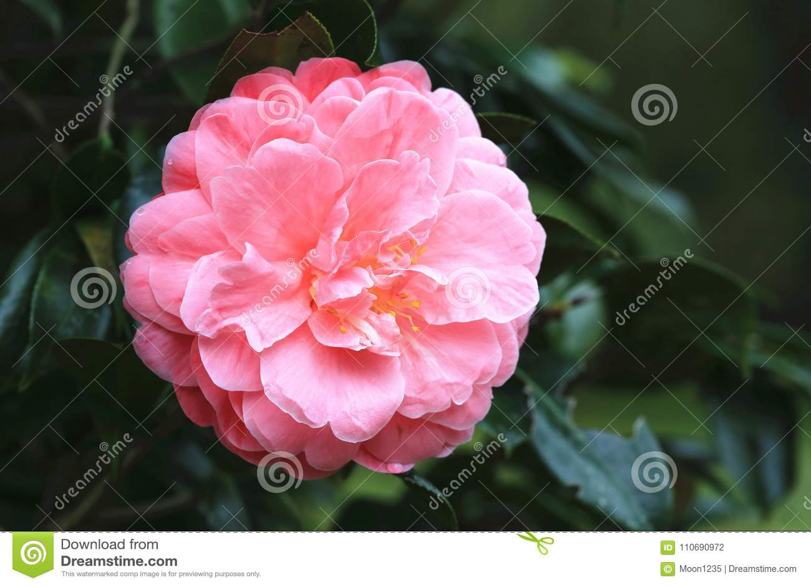 Pink Camellia Flower Closeup Stock Photo Image Of Flora Fragrant
