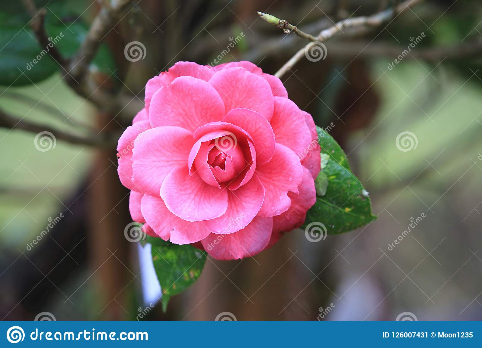 Pink Camellia Flower With Raindrop Stock Image Image Of Bloom