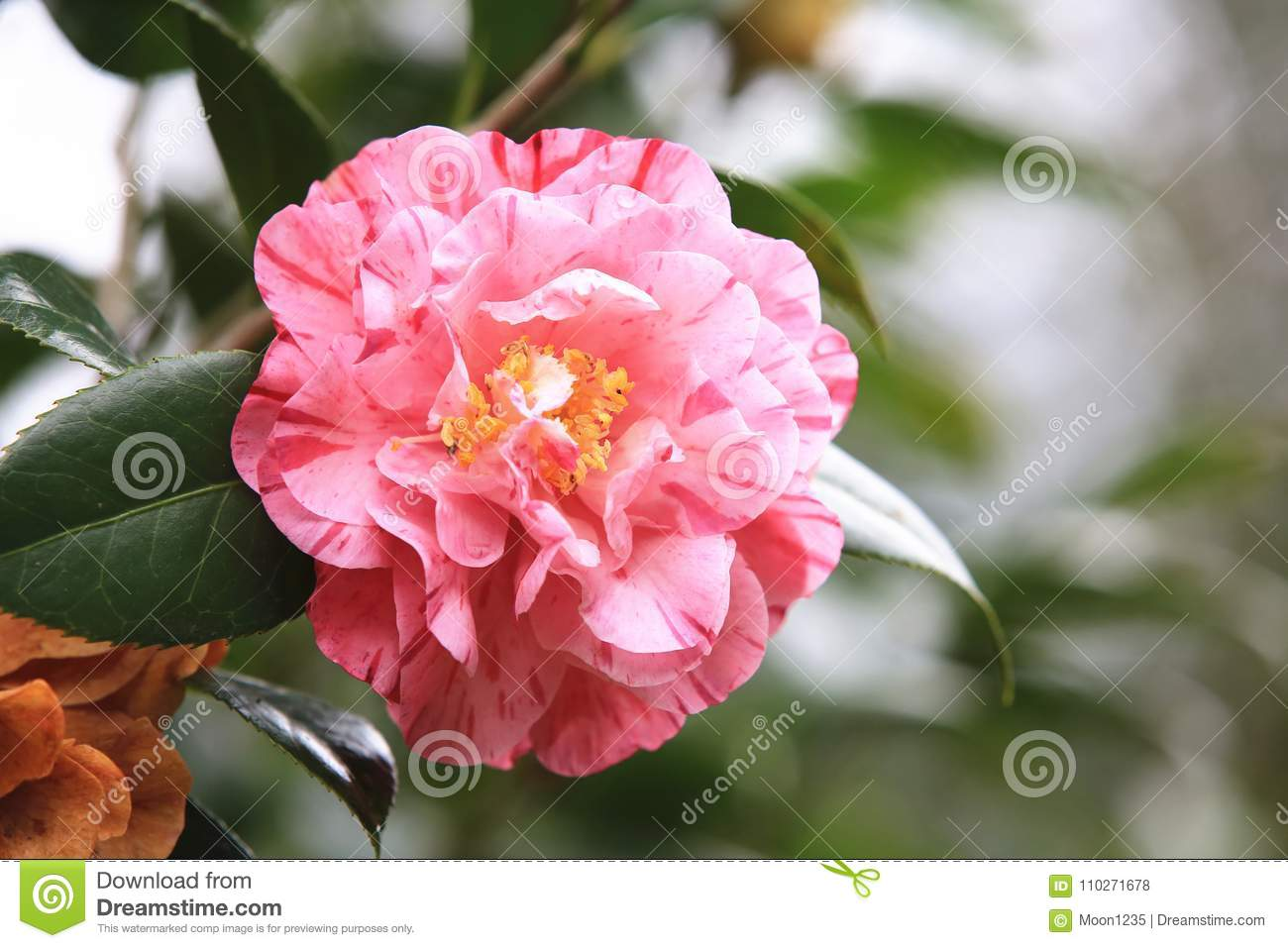 Pink Camellia Flower With Raindrop Stock Photo Image Of Colorful
