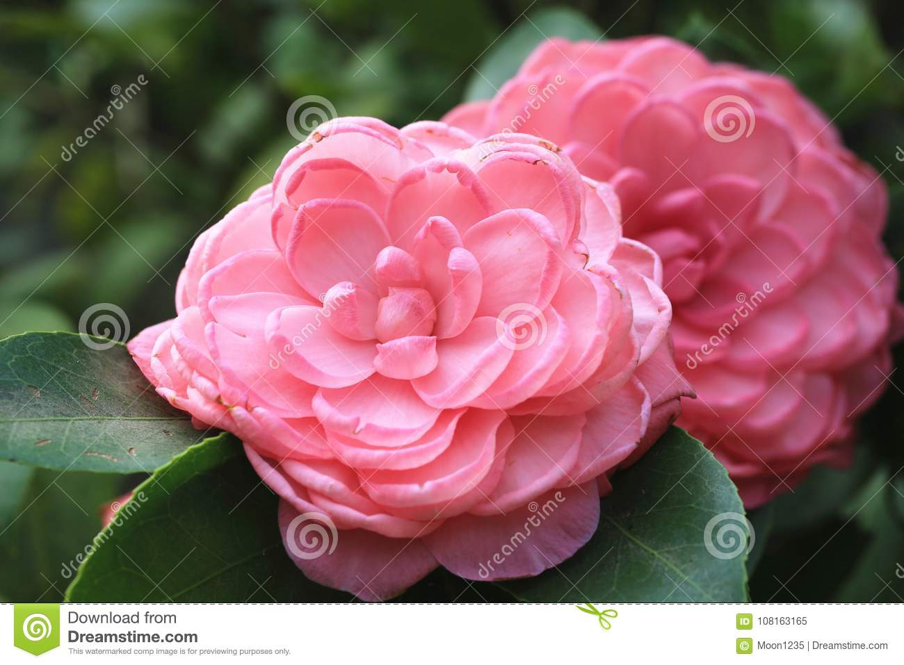 Pink Camellia Flowers Closeup Stock Image Image Of Fresh Delicate