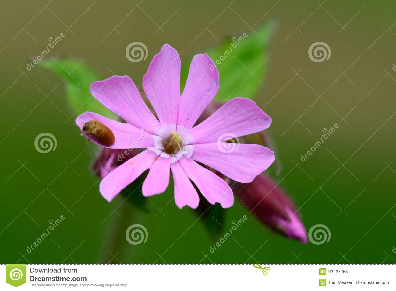 Pink campion flowers stock image image of green springtime 93267255 download pink campion flowers stock image image of green springtime 93267255 mightylinksfo