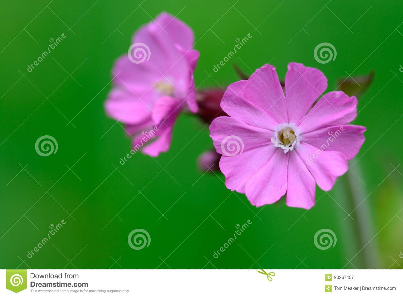 Pink campion flowers stock image image of spring season 93267457 download pink campion flowers stock image image of spring season 93267457 mightylinksfo