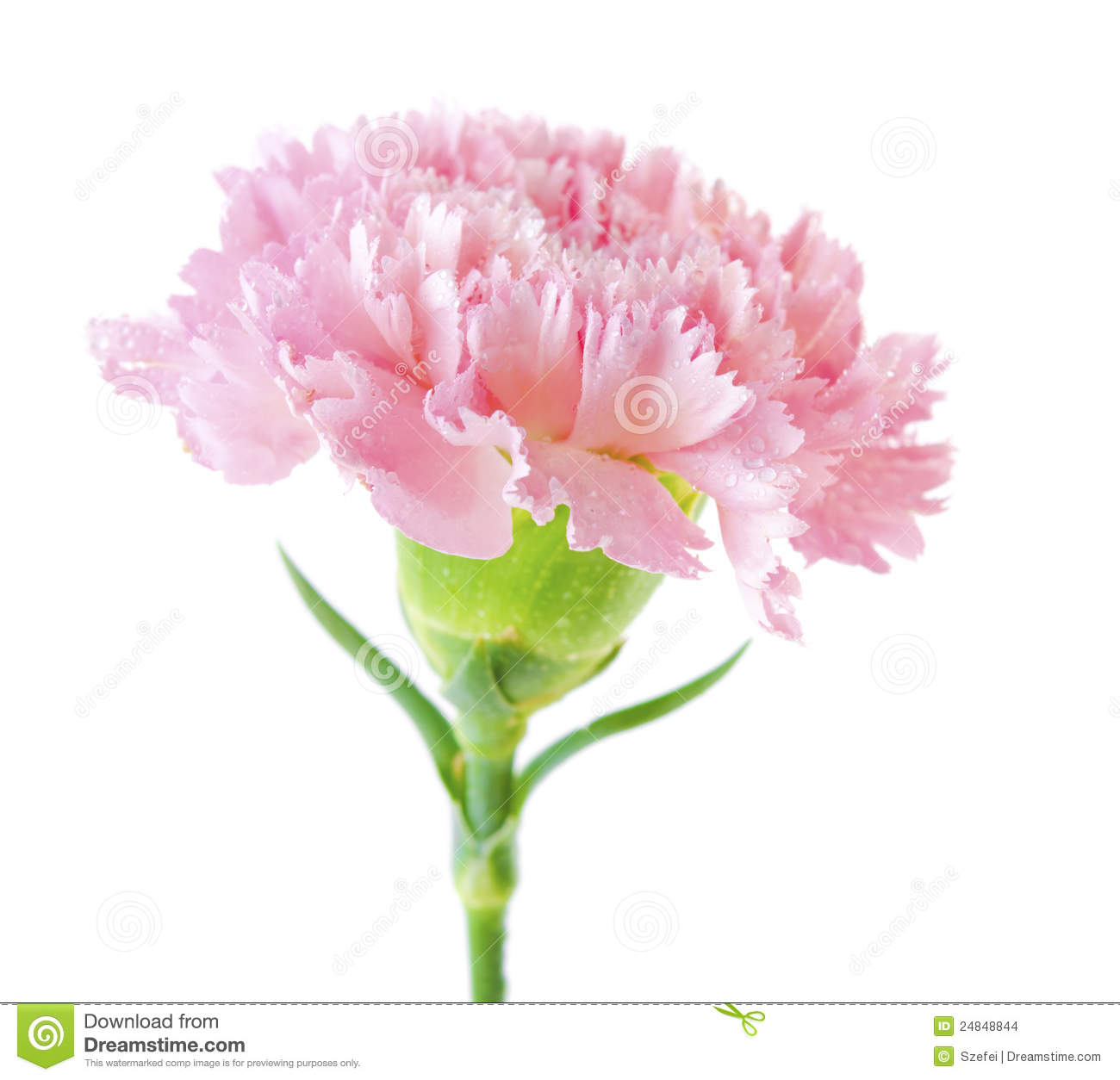 Close up pink carnation flower isolated on white background.