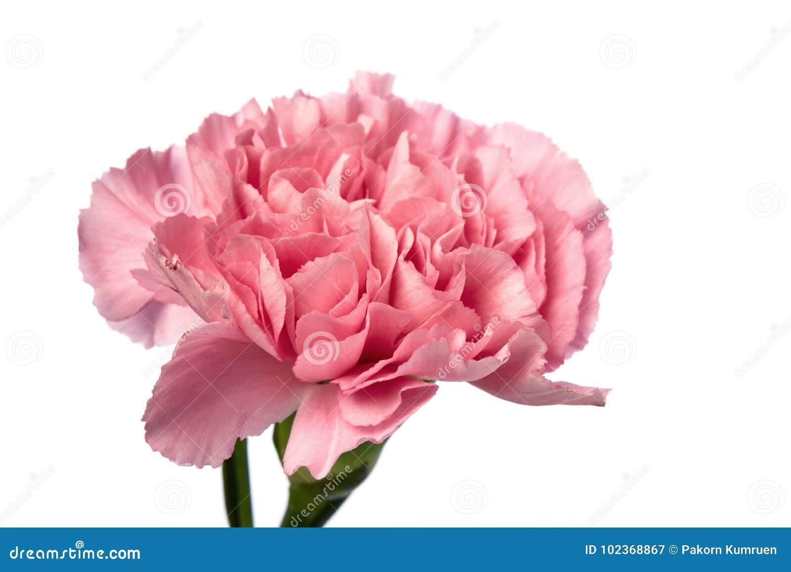 Pink carnation flower on white stock image image of romance flat pink carnation flower on white mightylinksfo