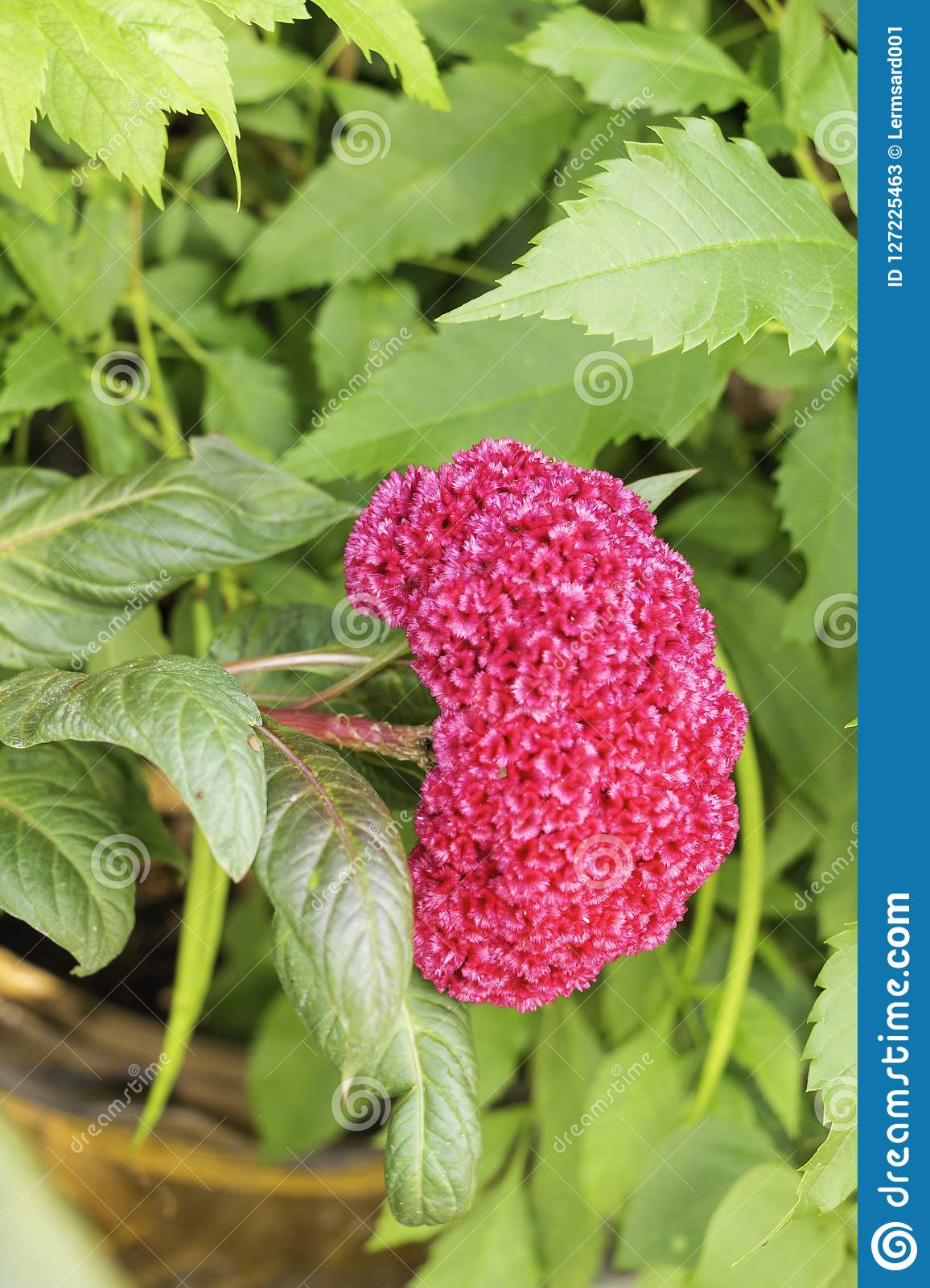 Pink Celosia and green leaf in the flowerpot.