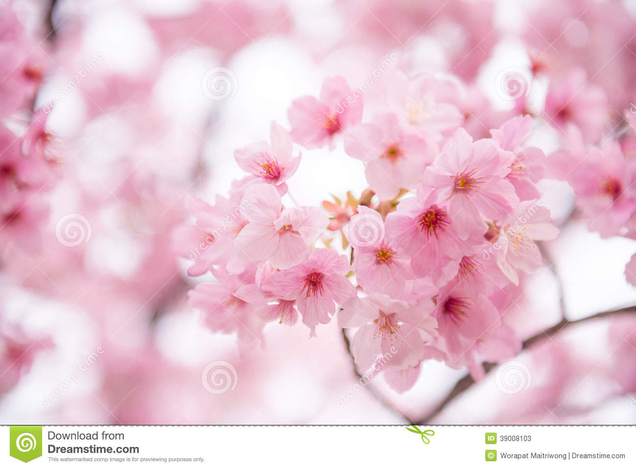 Pink cherry blossom stock image image of beautiful nature 39008103 mightylinksfo