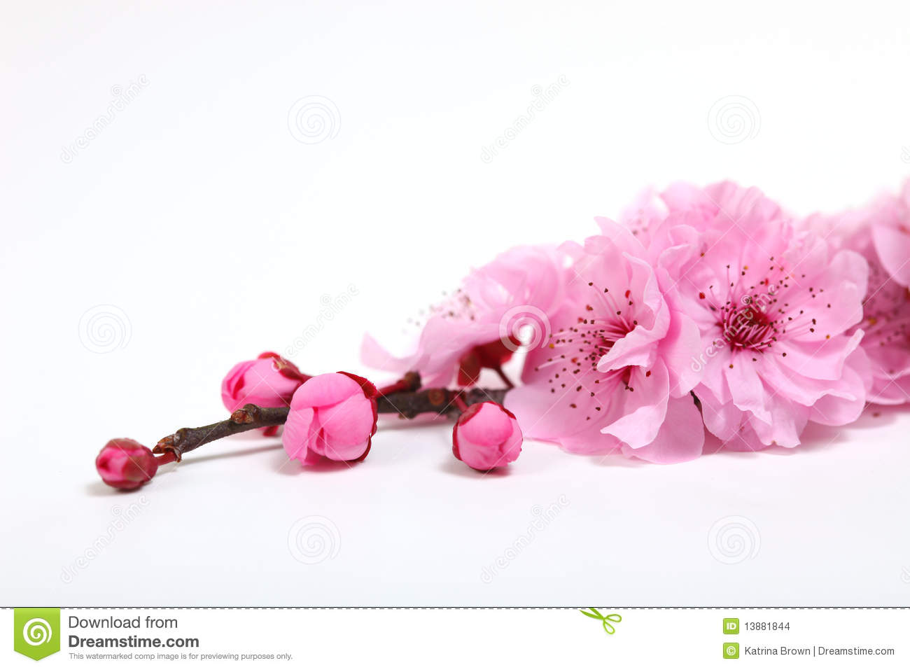 Pink cherry blossom flowers closeup stock photo image of growth pink cherry blossom flowers closeup mightylinksfo