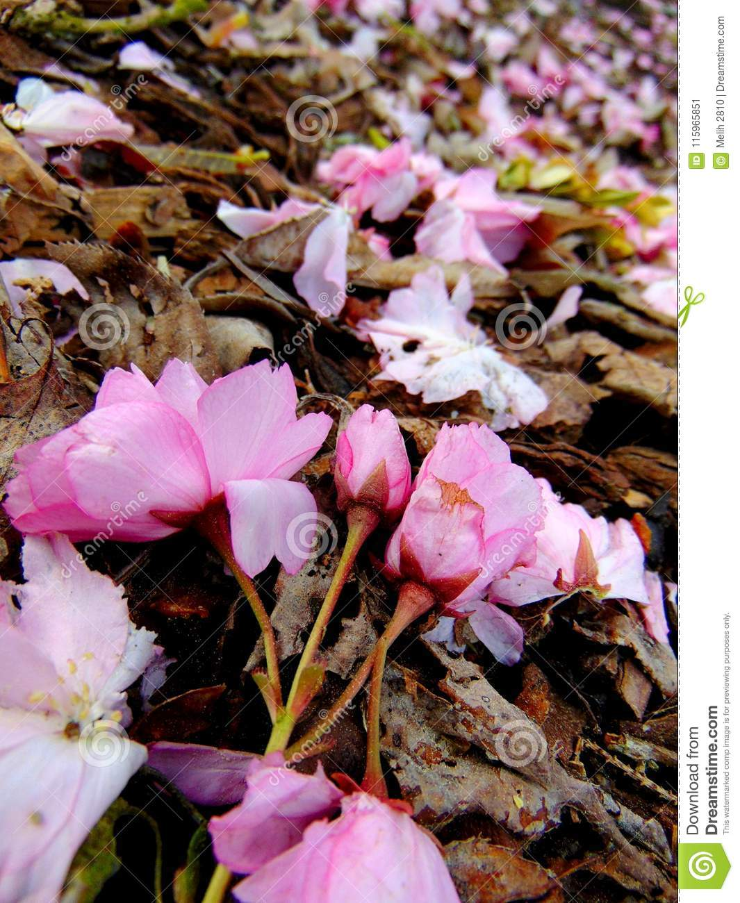 Pink cherry blossom petals laying on a ground of bark
