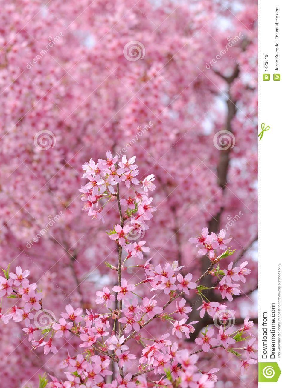 Pink Cherry Blossoms Background Stock Photo Image Of Culture