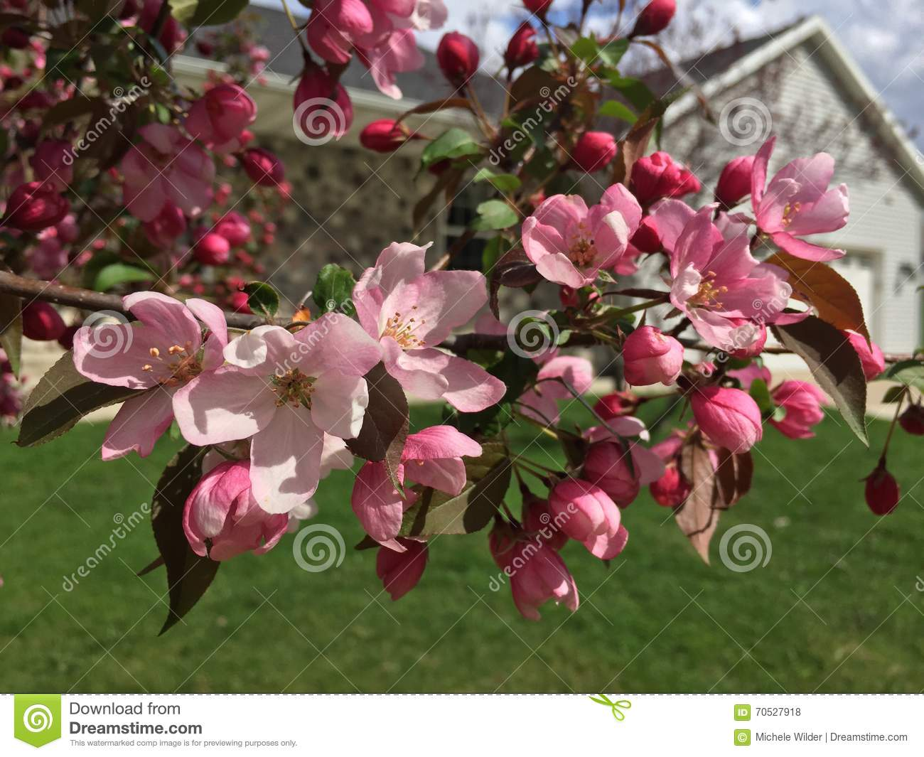 Pink cherry blossoms stock photo image of flower buds 70527918 dark pink buds open into light pink flowers on these ornamental cherry trees mightylinksfo