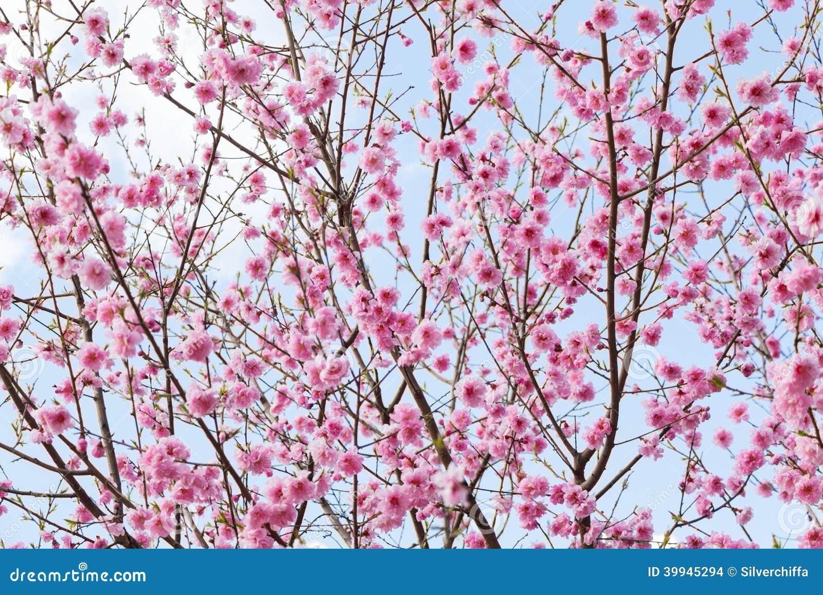 blossom park tree pink - photo #13