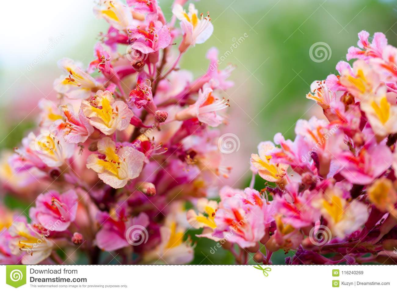 Pink chestnut tree, Aesculus × carnea, or red horse-chestnut bl