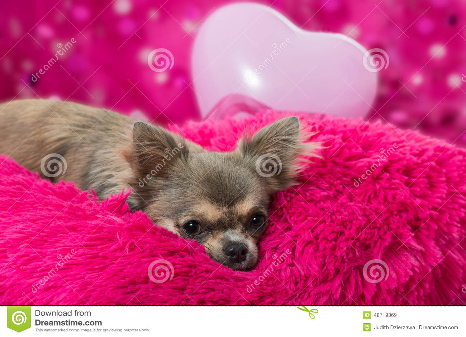 Pink Chihuahua Stock Photo Image 48719369