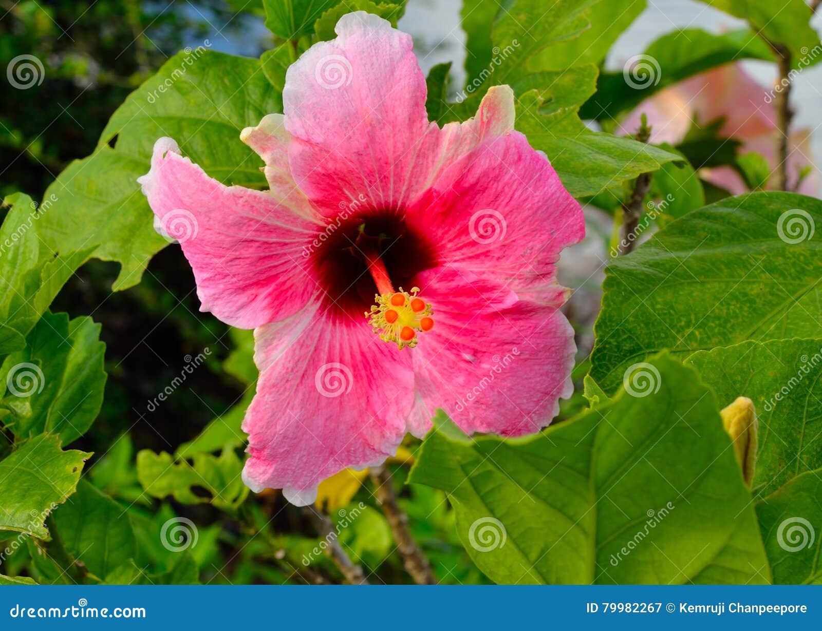 Pink chinese hibiscus flower stock image image of german royalty free stock photo izmirmasajfo