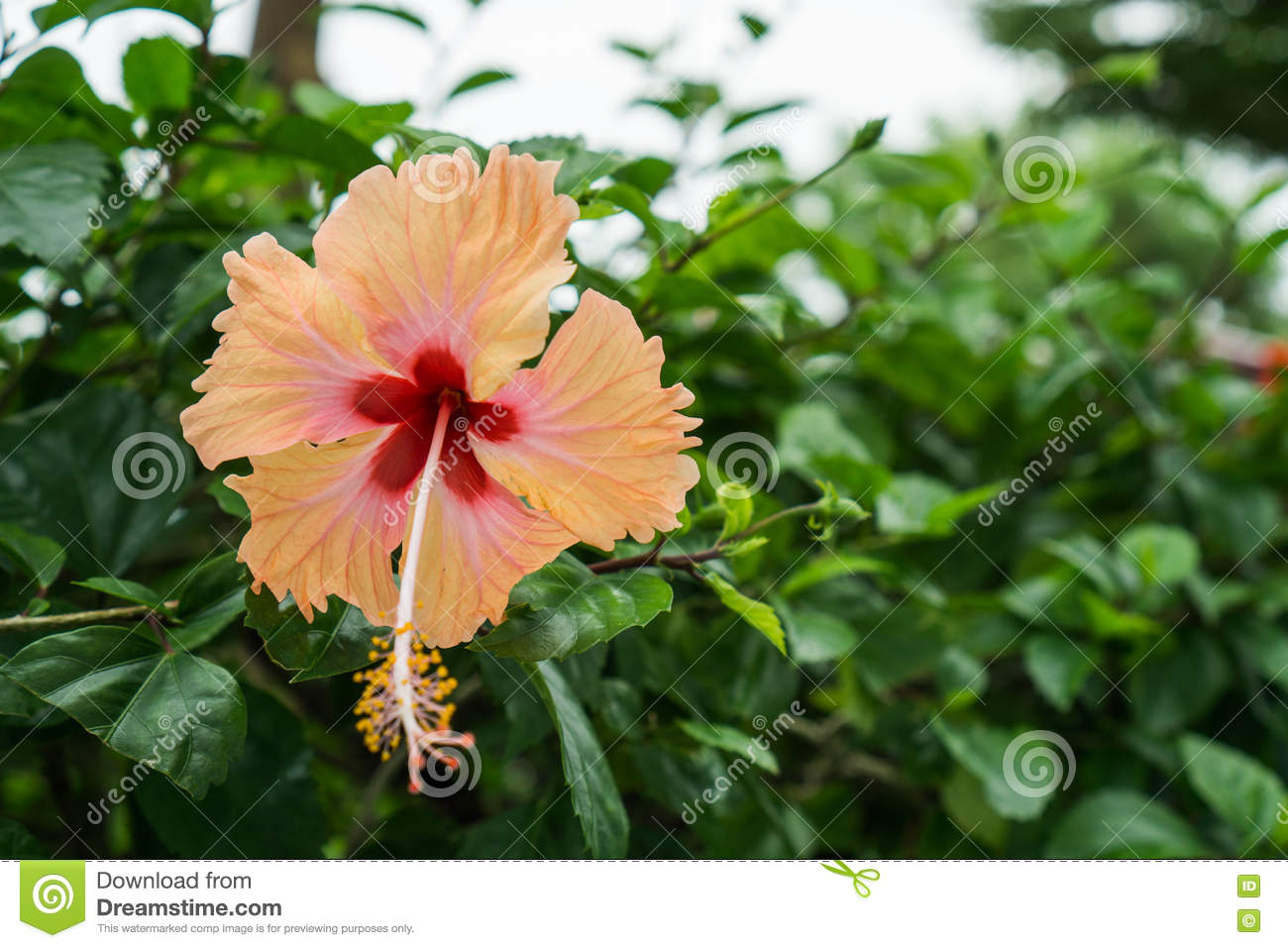 Pink chinese rose shoe flower or a flower of red hibiscus with pink chinese rose shoe flower or a flower of red hibiscus with green leaves izmirmasajfo