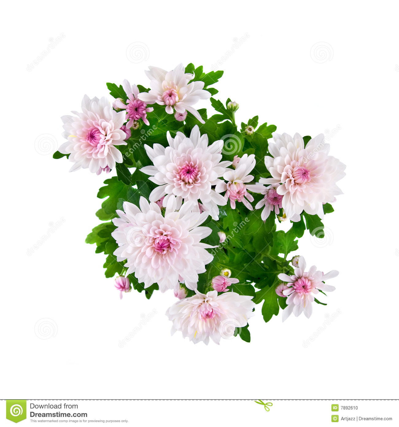 pink chrysanthemum bouquet isolated on white stock photo  image, Beautiful flower