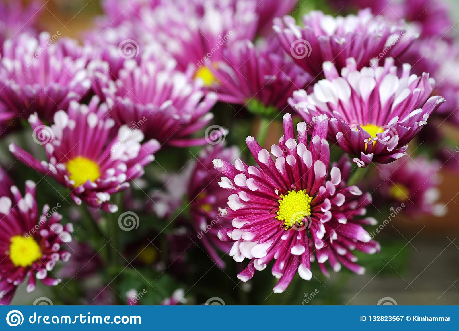Pink Chrysanthemums Or Pom Pom Mums With White Tips Bloom Stock