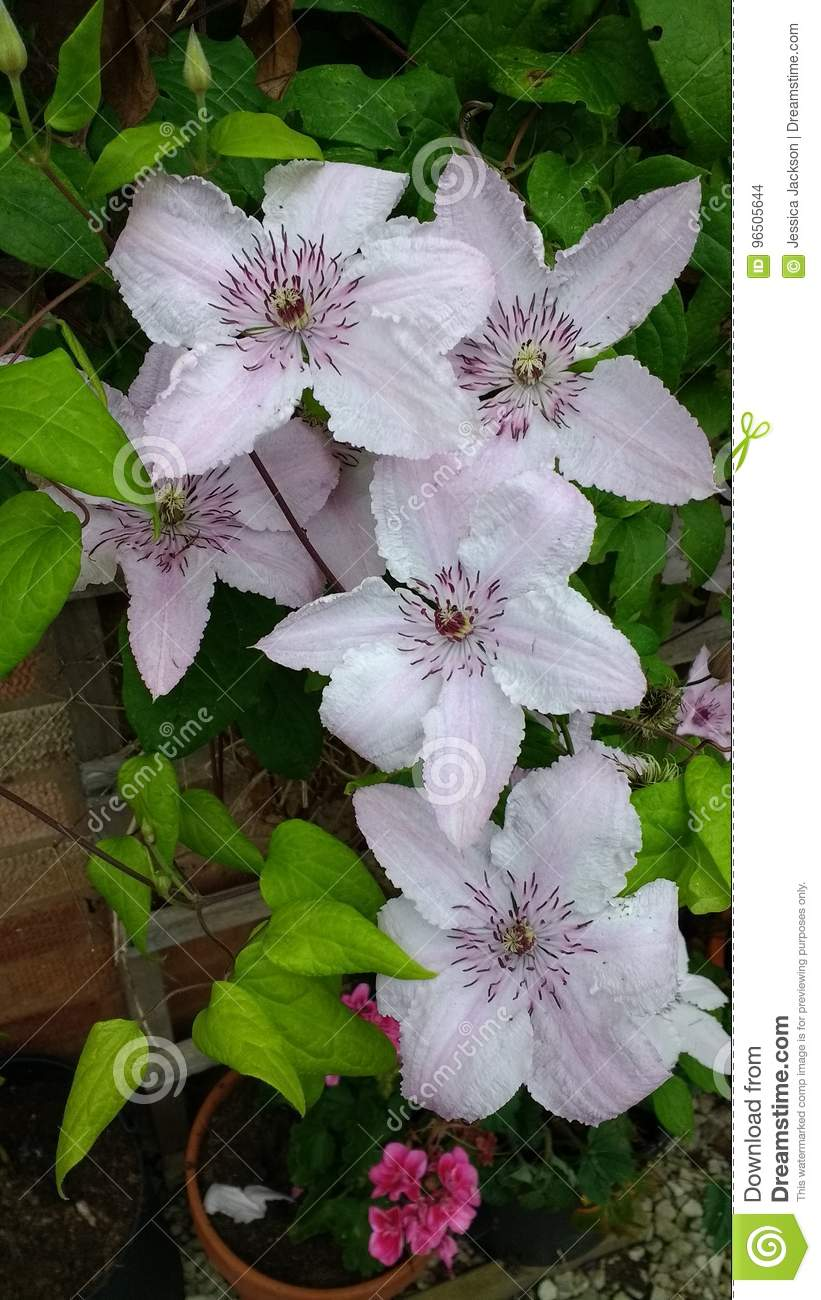 Pink Clematis Flowers Stock Images