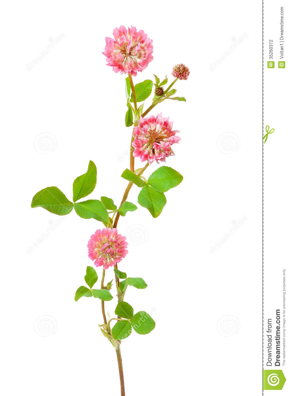 Pink Clover Flower Stock Photography - Image: 35260372