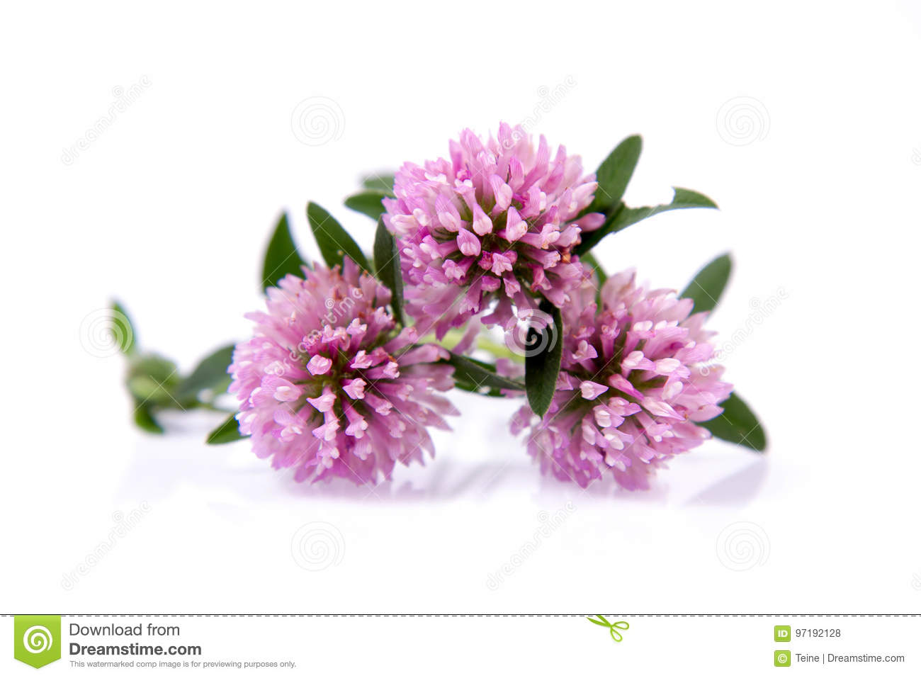 Pink Clover Flowers Stock Photo Image Of Grow Macro 97192128